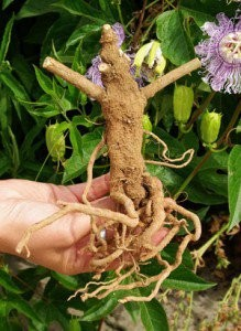 ashwaganda roots